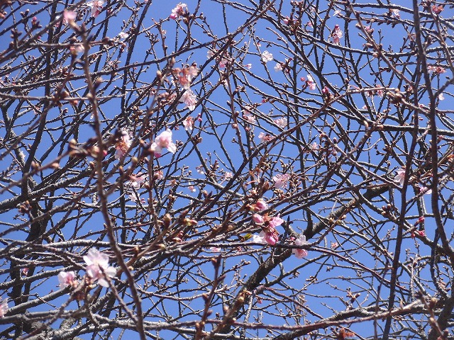 26日にサクラの開花は間に合うか? お花見ウォーキング_f0141310_7374274.jpg