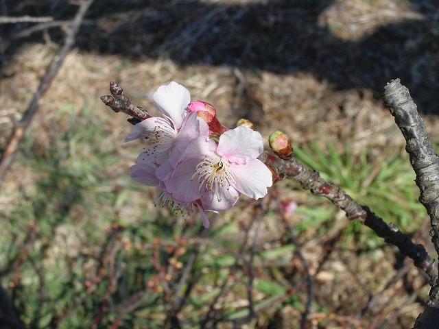26日にサクラの開花は間に合うか? お花見ウォーキング_f0141310_7375419.jpg