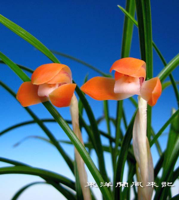 日本春蘭「緋色紅花」                 No.1123_d0103457_119533.jpg
