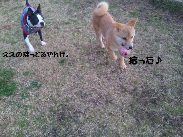 ★しぶごえ千倉 ; 看板犬ボステリ日向ちゃんの技★_d0187891_22535711.jpg