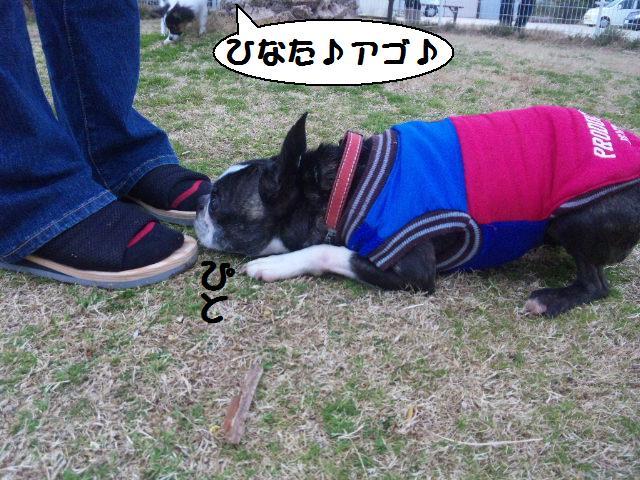 ★しぶごえ千倉 ; 看板犬ボステリ日向ちゃんの技★_d0187891_2255542.jpg