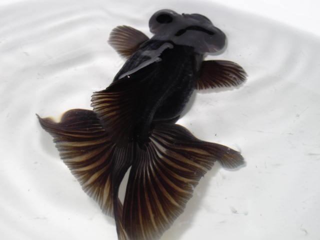 蝶尾 : フルタニ金魚倶楽部blog