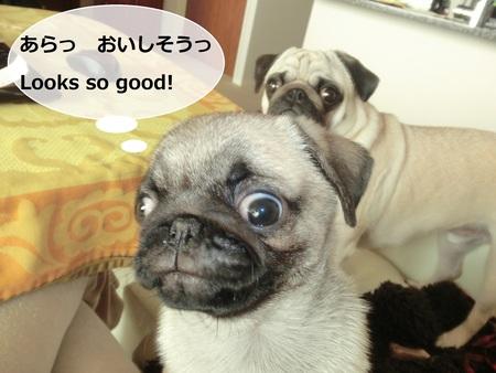 パグの兄妹のひそひそ話 Secret Talk of Pug Bro & Sis_b0190666_22433117.jpg