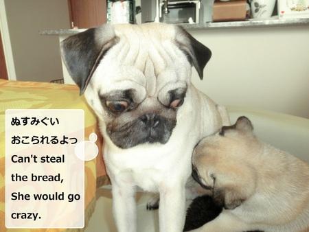 パグの兄妹のひそひそ話 Secret Talk of Pug Bro & Sis_b0190666_22441083.jpg