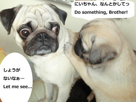パグの兄妹のひそひそ話 Secret Talk of Pug Bro & Sis_b0190666_22442322.jpg