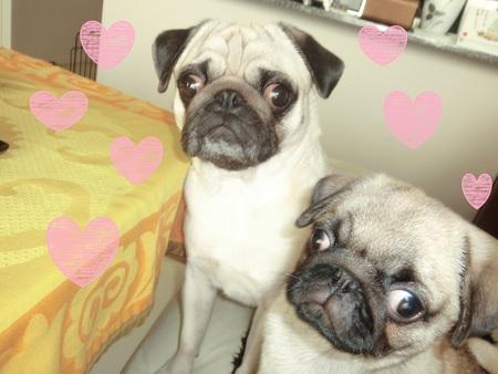 パグの兄妹のひそひそ話 Secret Talk of Pug Bro & Sis_b0190666_22592151.jpg