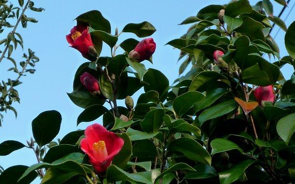 ツバキが花盛り_d0030373_22414545.jpg