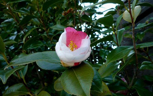 ツバキが花盛り_d0030373_2242315.jpg