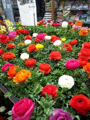 これから咲く花「ラナンキュラス」_c0141652_9335517.jpg