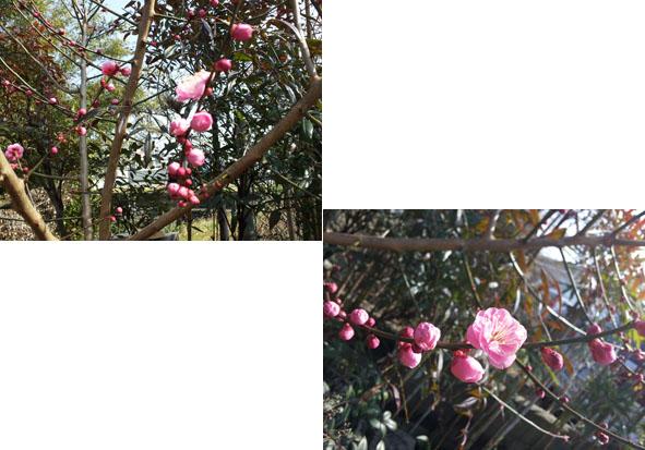 梅が開花しました!_a0155290_1484647.jpg