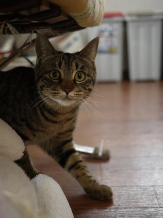 猫のお友だち ちゃーくんちょびくんペコちゃん編。_a0143140_15141428.jpg