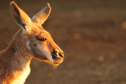 アカカンガルー:Red kangaroo_b0249597_724888.jpg