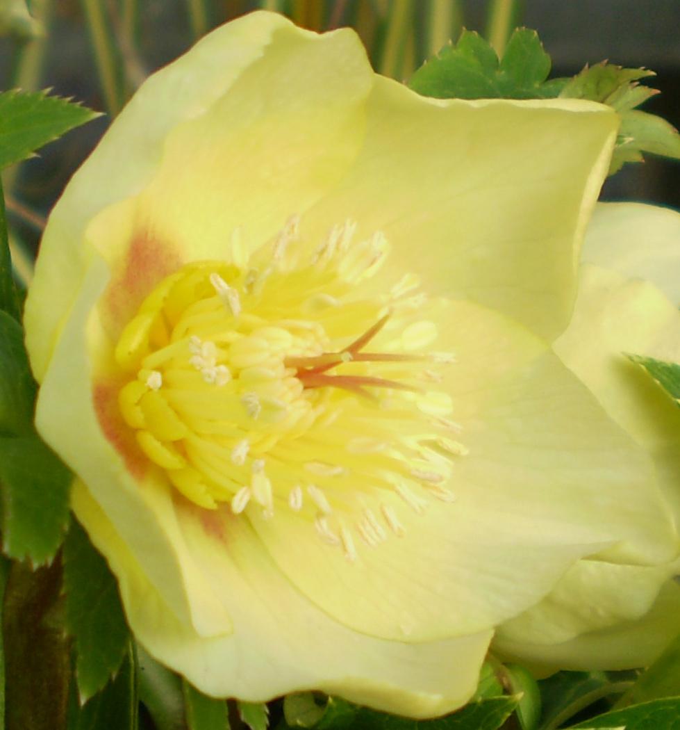 春を呼ぶ花、クリスマスローズ !_f0139333_23222342.jpg