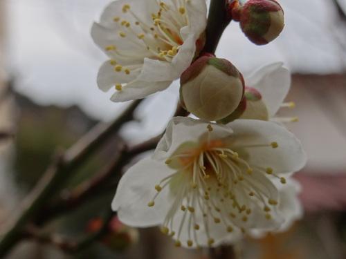 梅咲き始めました♪_e0240147_1405053.jpg