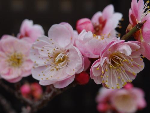 梅咲き始めました♪_e0240147_946516.jpg