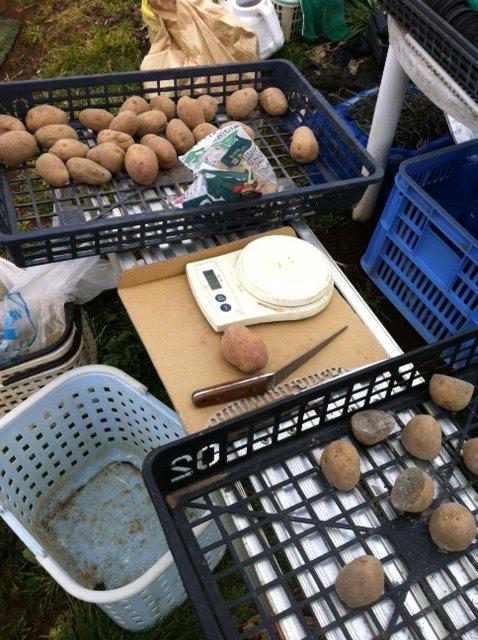 今朝 ジャガイモの植え付け終了しました_c0222448_1283834.jpg