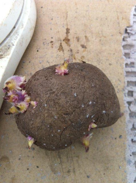 今朝 ジャガイモの植え付け終了しました_c0222448_129781.jpg