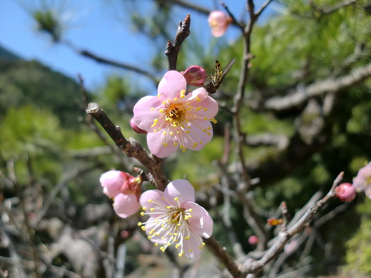 ウグイスと梅の花_d0251679_0535943.jpg