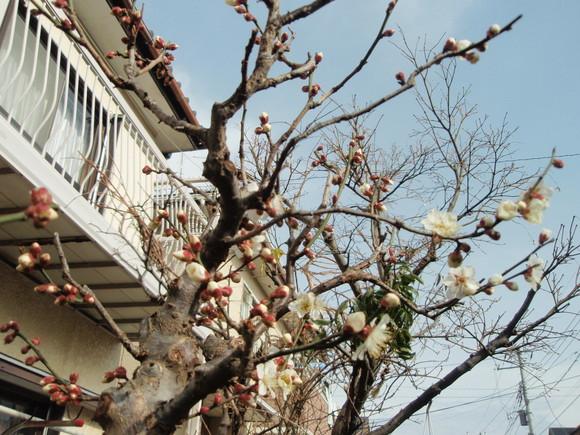 梅が開花_a0207196_17324625.jpg
