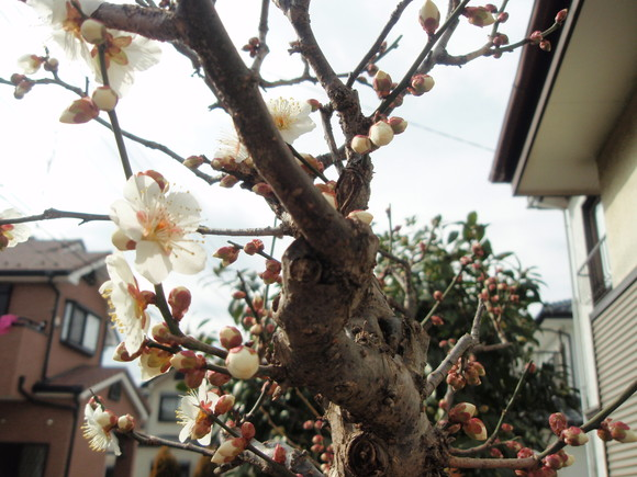 梅が開花_a0207196_17335539.jpg