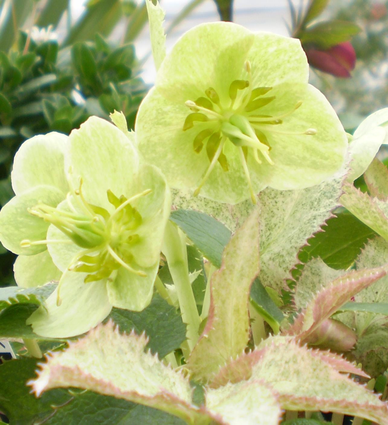 春を呼ぶ花、クリスマスローズ !_f0139333_15225314.jpg