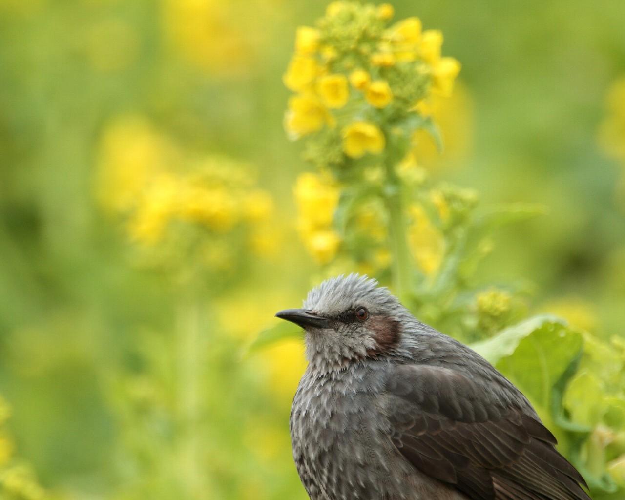 ヒヨドリと菜の花(早春らしい綺麗な野鳥のフリー壁紙)_f0105570_21132375.jpg