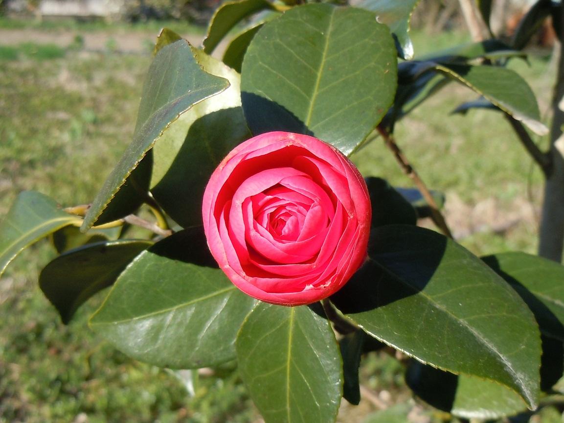 開花期は、この辺りでは、2月から4月にかけて花を咲かせる。立性で、繁殖力... 椿「紅乙女」が咲
