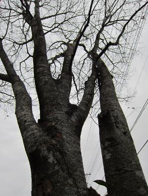 春を待つ庭の木々。_b0207631_1146971.jpg