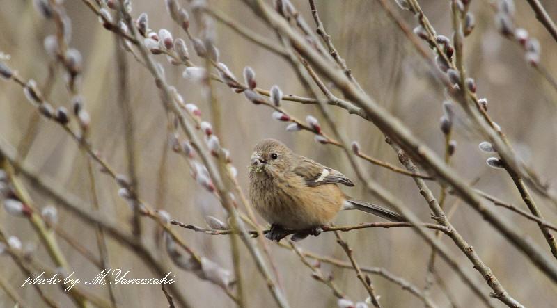 梅の開花とベニマシコ_c0217255_2129077.jpg
