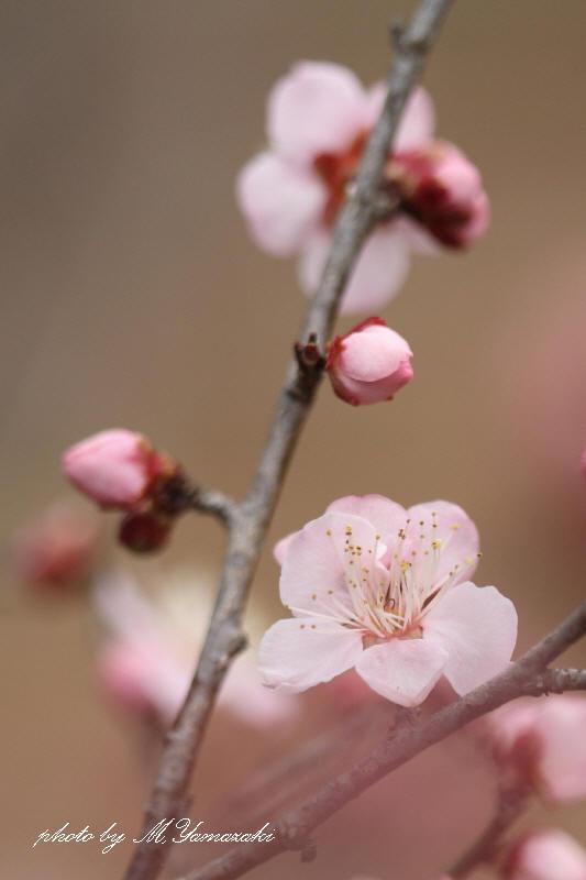 梅の開花とベニマシコ_c0217255_21294632.jpg