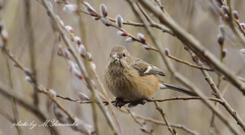 梅の開花とベニマシコ_c0217255_2129866.jpg