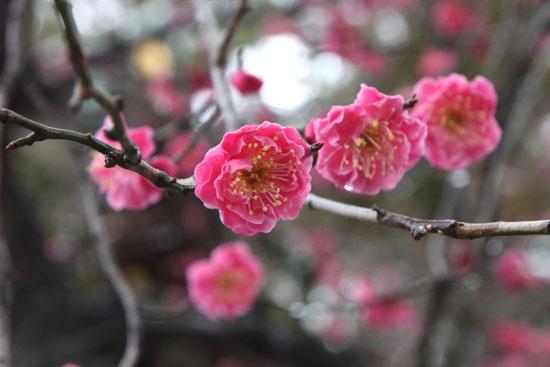 北野天満宮 梅が咲いた_e0048413_21171496.jpg
