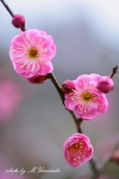 梅の開花とベニマシコ_c0217255_18174138.jpg