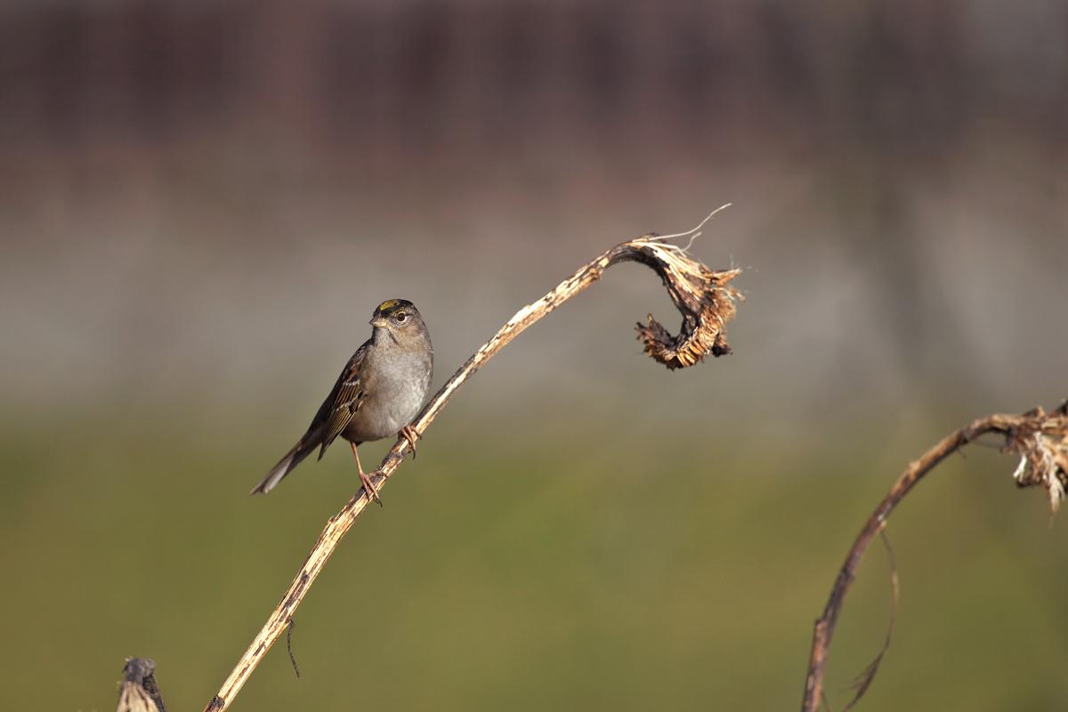 バンクーバーの小鳥類_d0013455_1352317.jpg