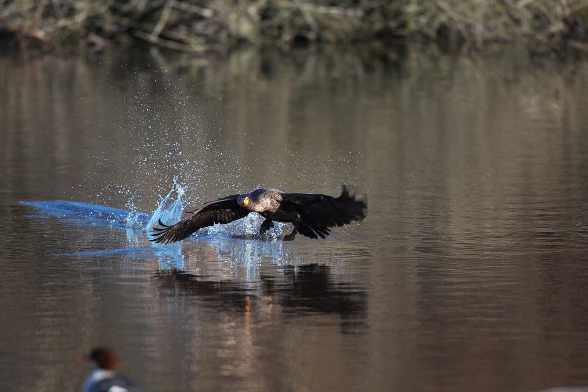 バンクーバー ミミヒメウ(Double-crested Cormorant)_d0013455_1532849.jpg