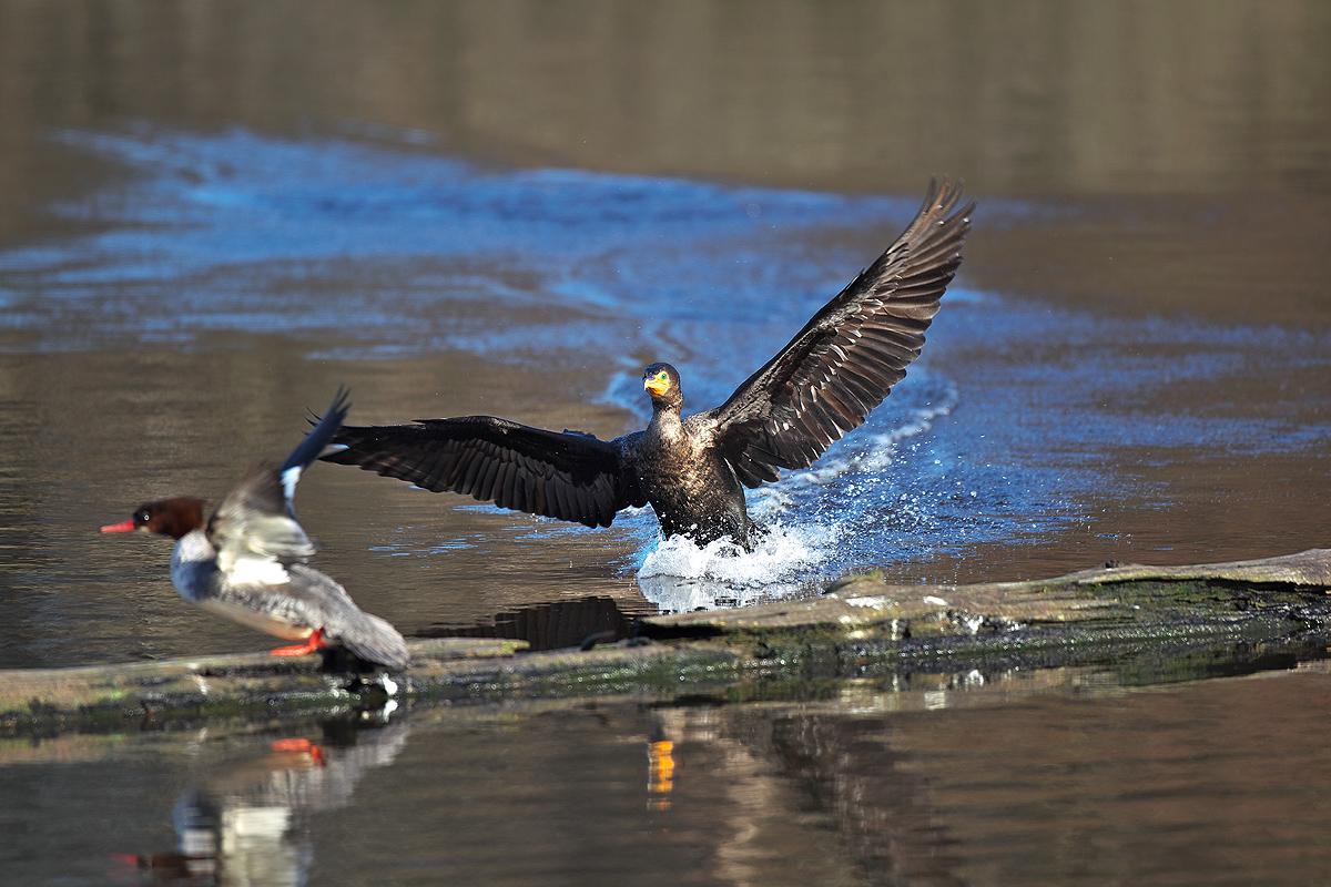 バンクーバー ミミヒメウ(Double-crested Cormorant)_d0013455_1541036.jpg