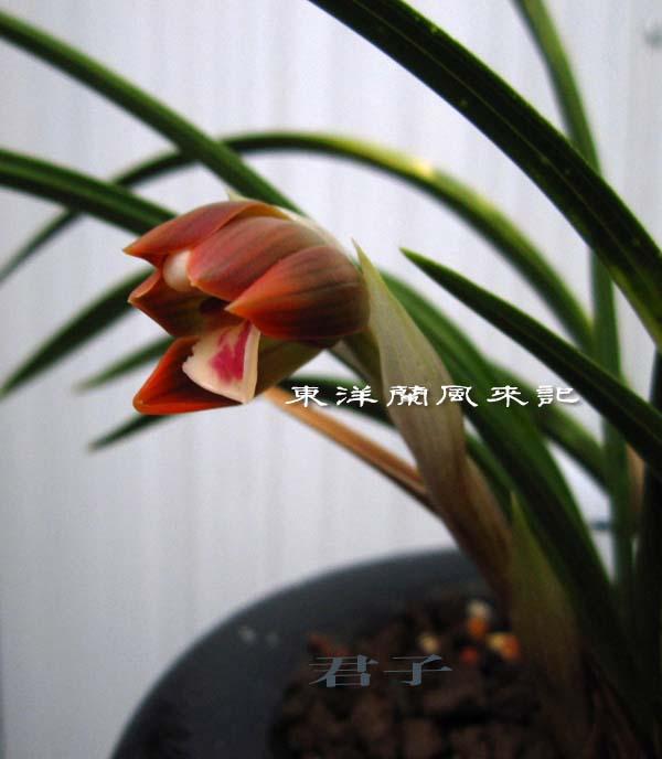 日本春蘭「朱雀門」                  No.1127_d0103457_0214447.jpg