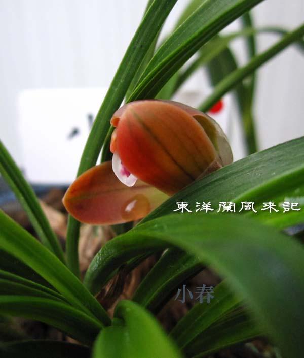 日本春蘭「朱雀門」                  No.1127_d0103457_0215970.jpg
