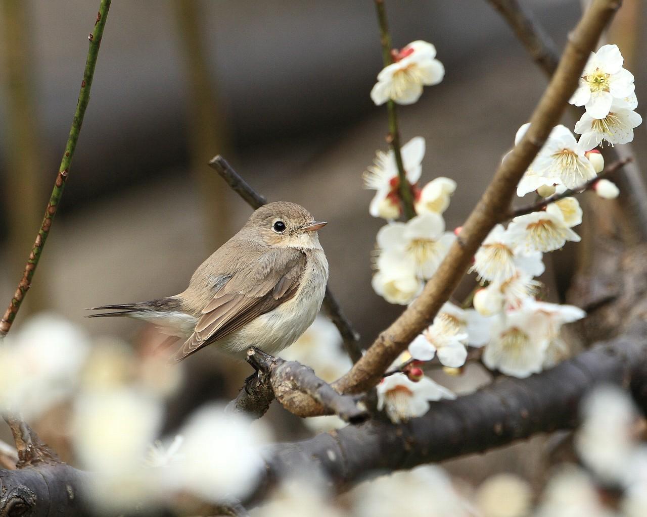 オジロビタキと白梅(チョー可愛い野鳥の無料壁紙)_f0105570_2133551.jpg