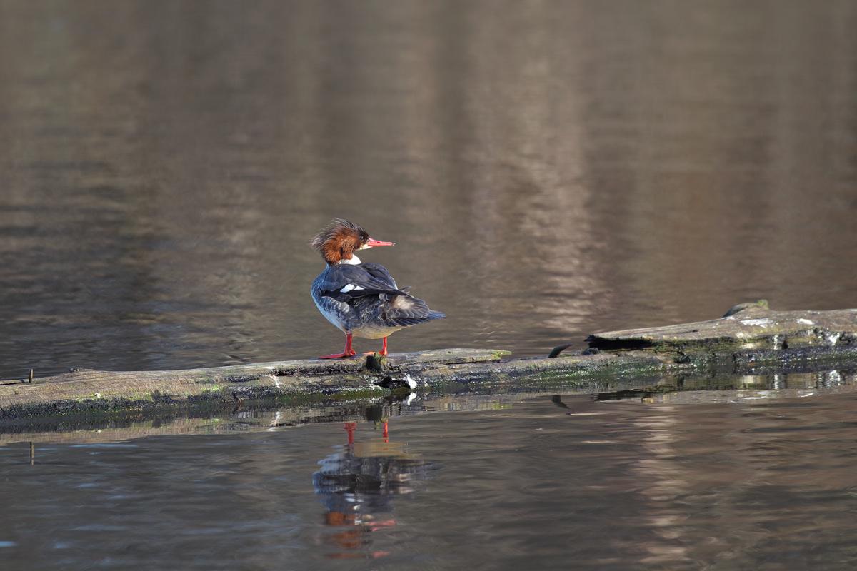 バンクーバー ミミヒメウ(Double-crested Cormorant)_d0013455_11515935.jpg