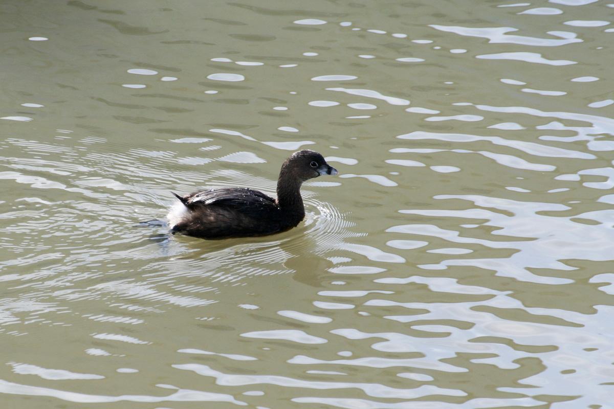 コクガン(Brant)クロミヤコドリ(Black Oystercatcher)オビハシカイツブリ(Pied-billed Grebe)_d0013455_124224.jpg