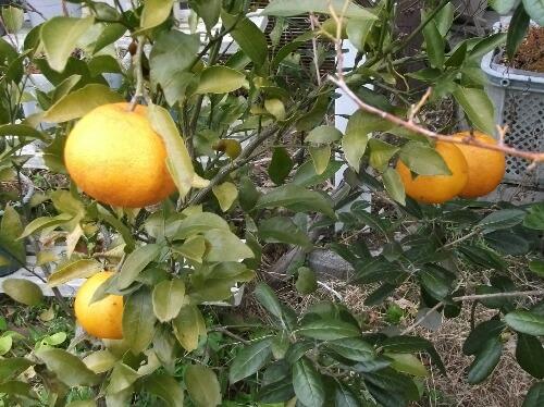 はるみ(柑橘)の収穫 _f0018078_19261624.jpg