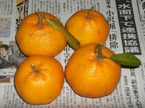 はるみ(柑橘)の収穫 _f0018078_19263853.jpg