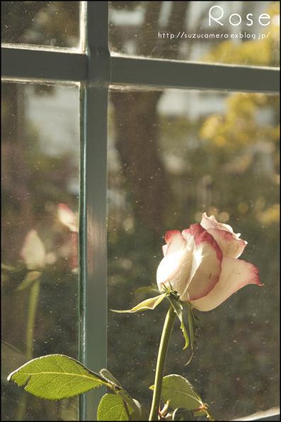 窓辺のバラ_f0100215_4131943.jpg