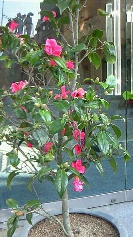 桃の節句に紅椿_a0254818_0154272.jpg
