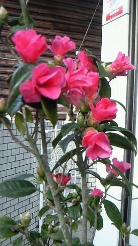 桃の節句に紅椿_a0254818_015586.jpg