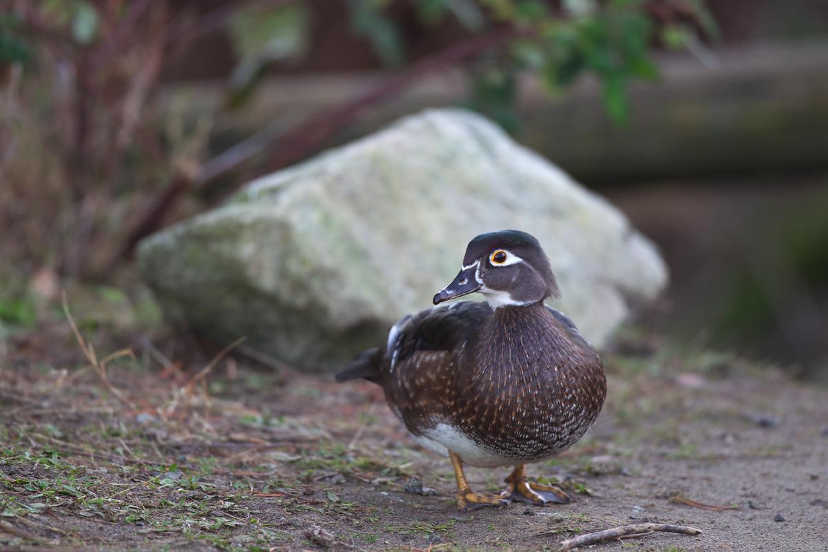 アメリカオシ(Wood Duck)_d0013455_1373175.jpg