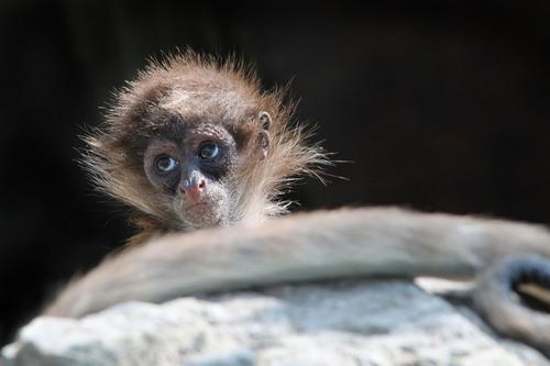 ケナガクモザル:Long-haired Spider Monkey_b0249597_15104040.jpg