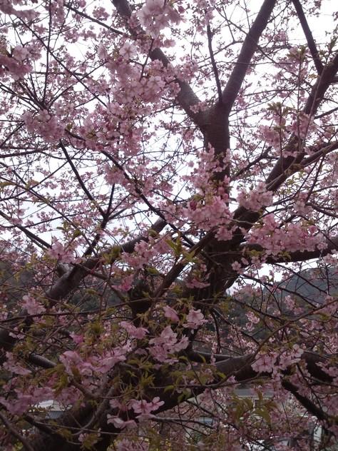 伊豆 河津 河津桜見に行ってきました!_c0204724_2316910.jpg