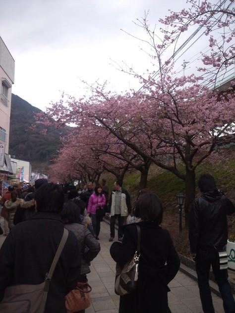 伊豆 河津 河津桜見に行ってきました!_c0204724_2351438.jpg